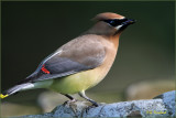 Cedar Waxwing in The Birdbath