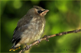 Cedar Waxwing Baby At  Eye Level