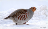 Gray Partridge On The Move
