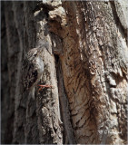 Brown Creeper bringing nesting material to cavity behind bark.