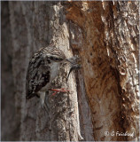 Brown Creeper with nesting material