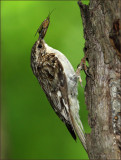 Vertical Crop/ Brown Creeper