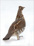 Ruffed-Grouse with a Snowball