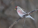 Not a Hoary Redpoll...A Common Redpoll