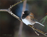 Oregon Junco  a long way from home