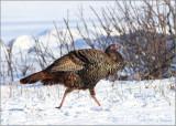 Wild-Turkey.jpg
