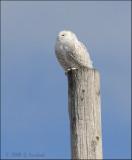 Snowy Owl Post