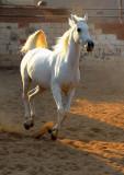 Flying Arabian Horse