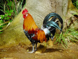 Jungle Fowl - Kaui