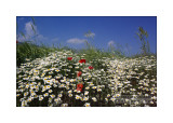 Chrysanthemum leucanthemum and Papaver rhoeas