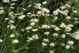 Arkansas Lazy Daisy (Aphanostephus skirrhobasis)