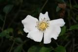 Briar Rose (Rose bracteata)