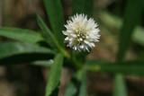 Alligator Weed (Alternanthera philoxeroides)