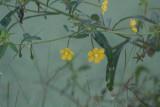 Angle Stem Water Primrose (Ludwugua leptocarpa)