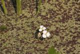 Beaked Burhead (Echinodorus rostratus)