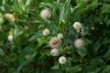Button Bush (Cephalathus occidentalis)