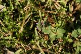 Hen Bit (Lamium amplexicaule)