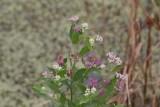 Camphorweed (Pluchea camphorata)