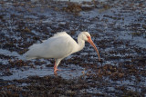 White Ibis IMG_3236.jpg