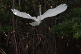 Great White Egret IMG_3341.jpg