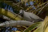 Eurasian Collared-Dove IMG_2682.jpg