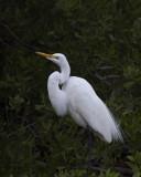 Great White Egret IMG_2587.jpg
