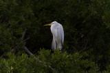 Great White Egret IMG_2669.jpg