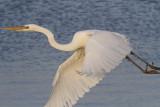 Great White Egret IMG_2810.jpg