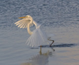 Great White Egret IMG_2811.jpg