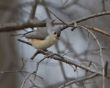 Tufted Titmouse IMG_1916.jpg