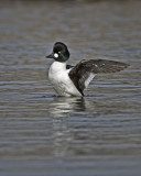Common Goldeneye IMG_4625.jpg