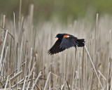 Red Winged Blackbird IMG_9929.jpg