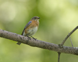 Eastern Bluebird IMG_8782.jpg