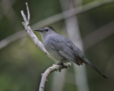 Gray Catbird IMG_8904.jpg