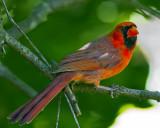 Cardinal IMG_9643.jpg