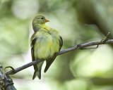 Goldfinch IMG_0091.jpg