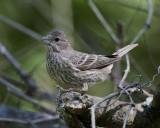 Sparrow IMG_0149.jpg