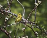 Yellow Warbler. IMG_0607.jpg