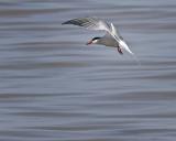 Common Tern IMG_9184.jpg