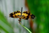 Dragonfly of Sri Lanka