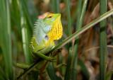 Sri Lankan Lizard