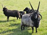:: Sheeps ::