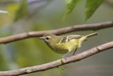 Yellow-winged Vireo