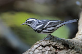 Black-and-white Warbler