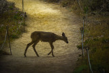 Fawn, Point Lobos State Natural Reserve, California, 2012