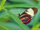 Blue & White Longwing (Heliconius cydno)
