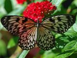 Paper Kite Butterfly (Idea leuconoe)