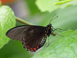 Papilio anchisiades (Red-spotted Swallowtail)