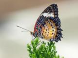 Leopard Lacewing (Cethosia cyane) Butterfly
