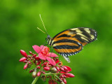 Tiger Wing and Tiger Longwing Butterflies